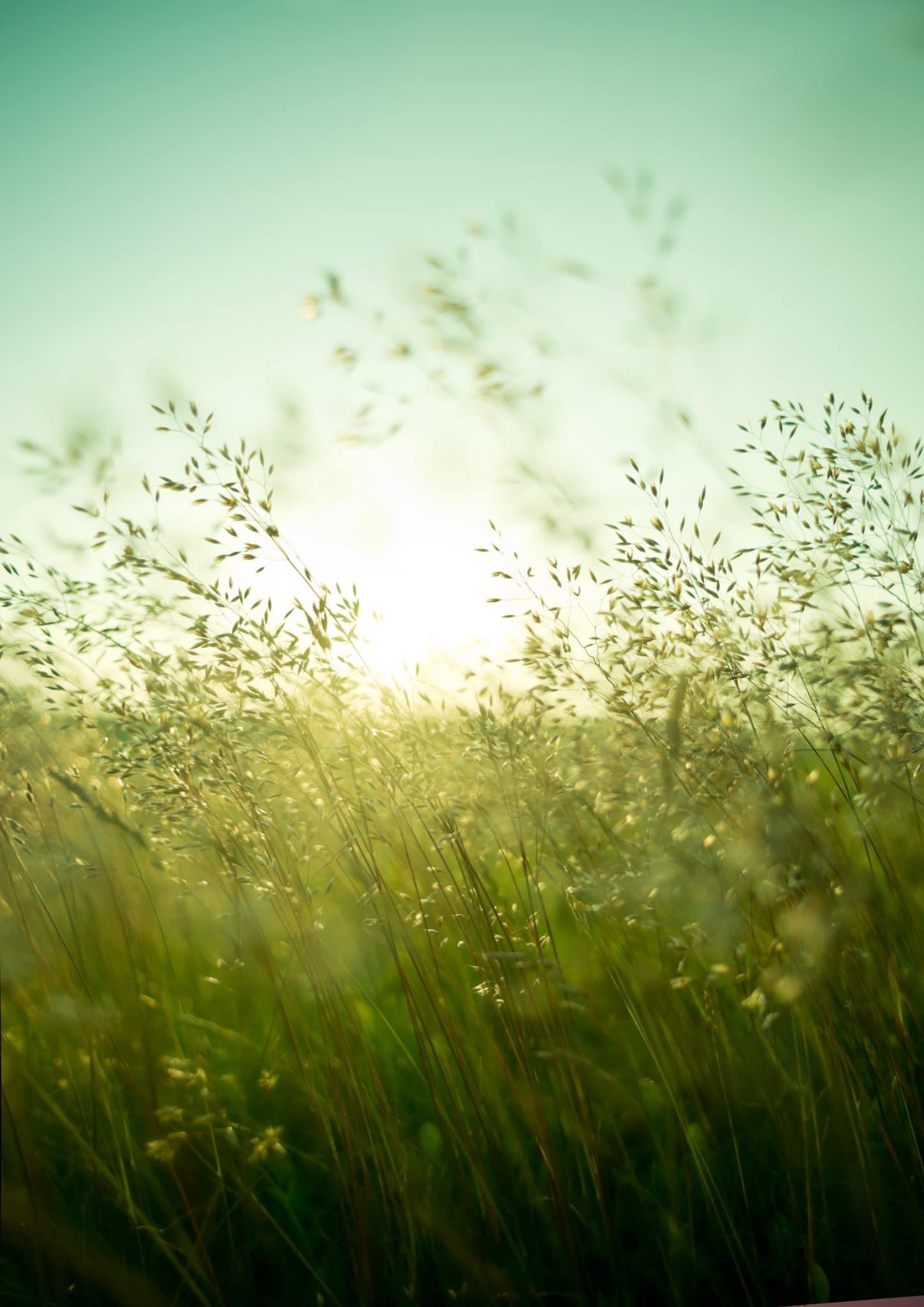 Long summer dry grass against a sunset.